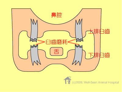 兔子牙齿正常结构(横切面)